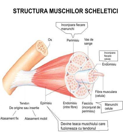Desen structura muschilor scheletici